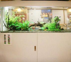 人気の淡水魚、エンゼルフィッシュッシュがかわいくお出迎えサムネイル画像