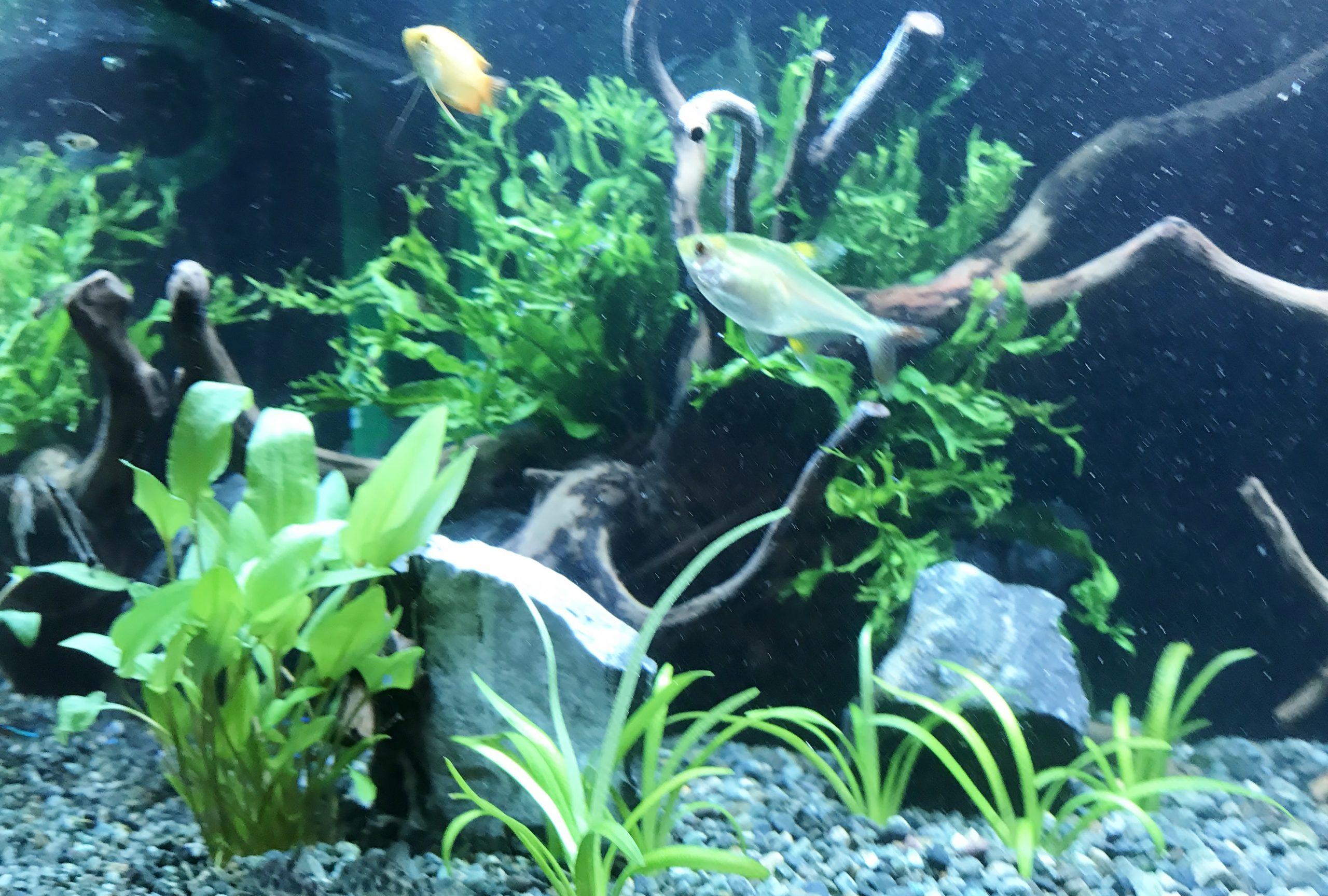 60cm淡水魚水槽 飲食店バー アップ画像